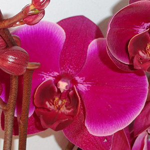 Jewel orchids