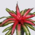 Неорегелия фенси Neoregelia Fancy
