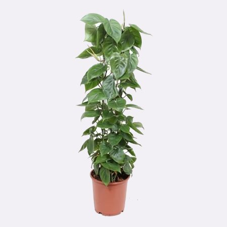 Philodendron Scandens_1
