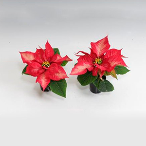 Пуансеттия Poinsettia Ice Chrystal